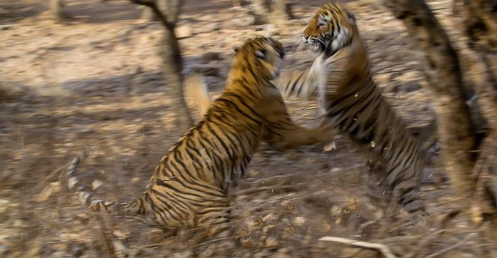 Tiger04